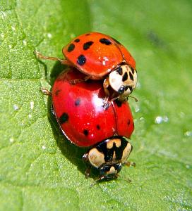 Adult ladybugs Harmonia axyridis.