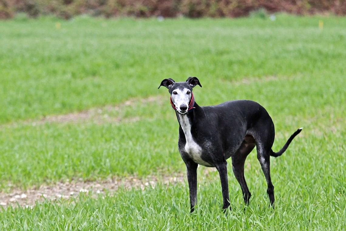 Galgo Español Dogs Similar To Pitbulls