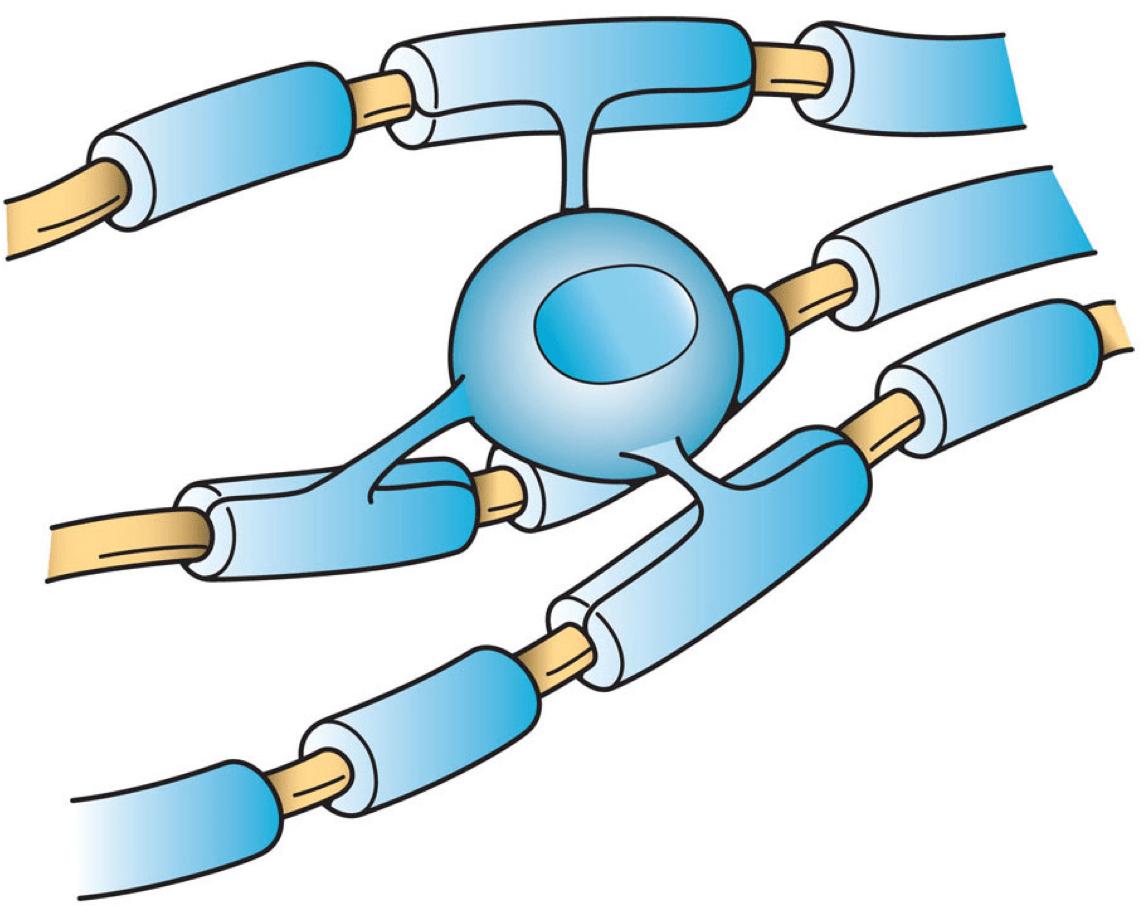 https://i2.wp.com/upload.wikimedia.org/wikipedia/commons/2/2e/Oligodendrocyte_illustration.png