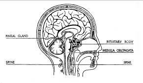 English: Pineal Gland and Pituitary Body Locat...