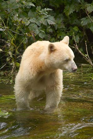 Kermode bear/Spirit bear.Commons:Category:Ursu...