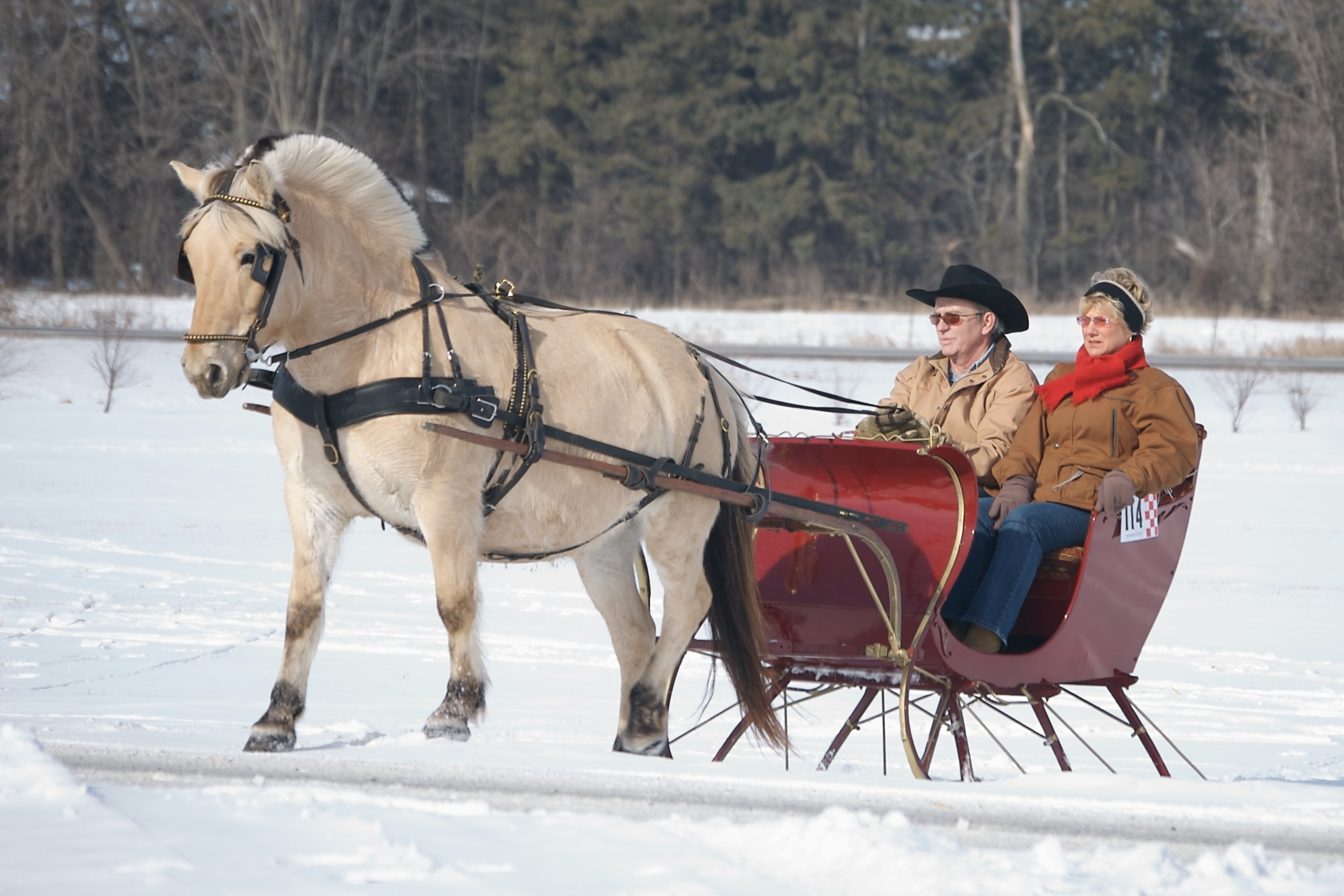 A white Norwegian Fjordhorse is pulling a portland cutter sleigh