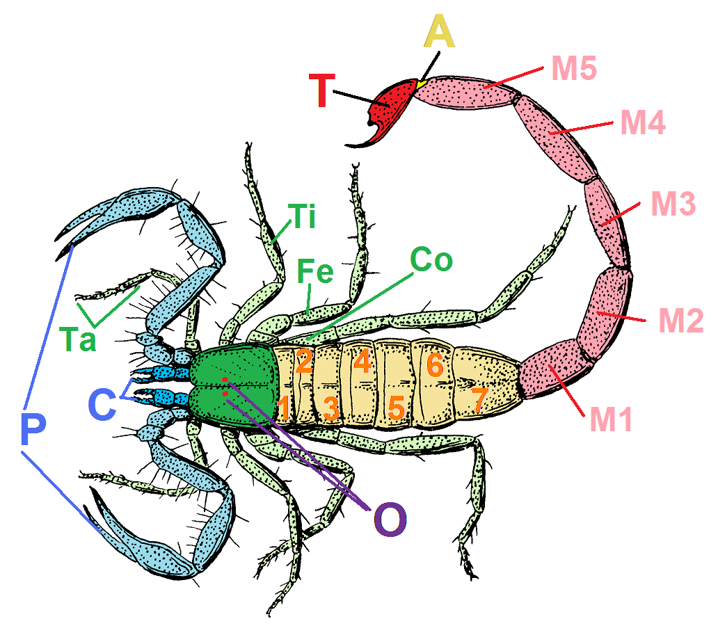 Prosoma Wikipedia Wolna Encyklopedia