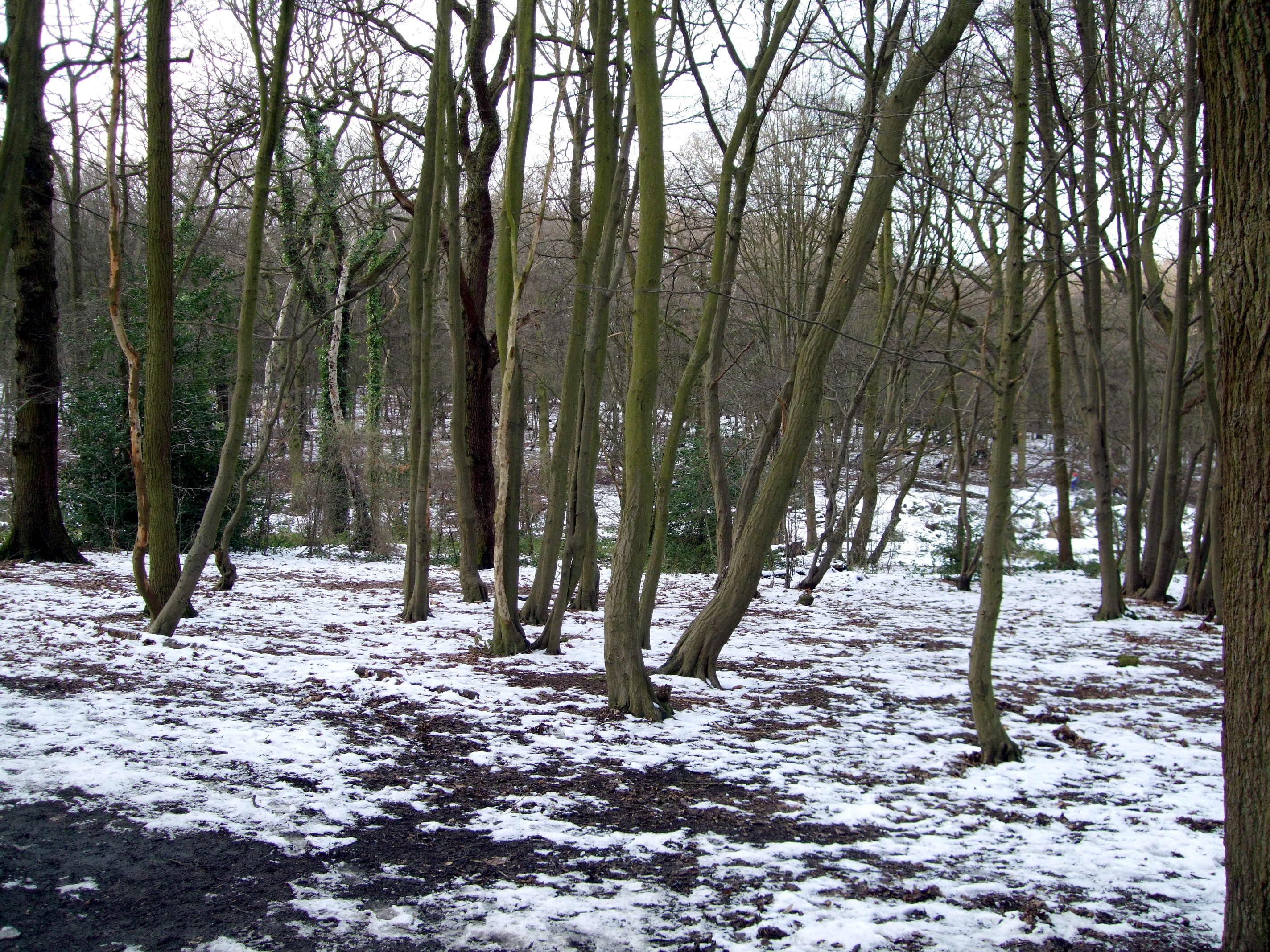 Coldfall Wood picture via Ewan Munro (Wikimedia)