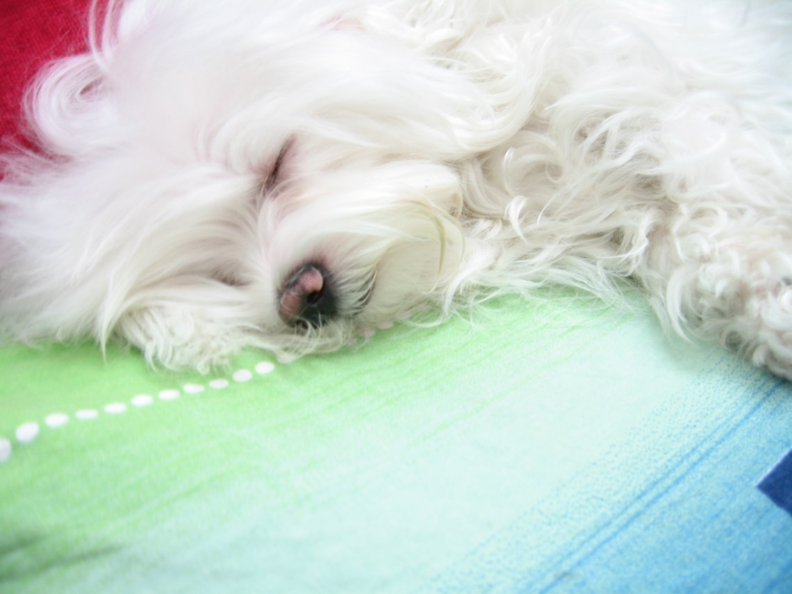 Maltese dog named Pofak Puppies For Sale In Md