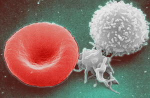 From left to right: erythrocyte, thrombocyte, ...