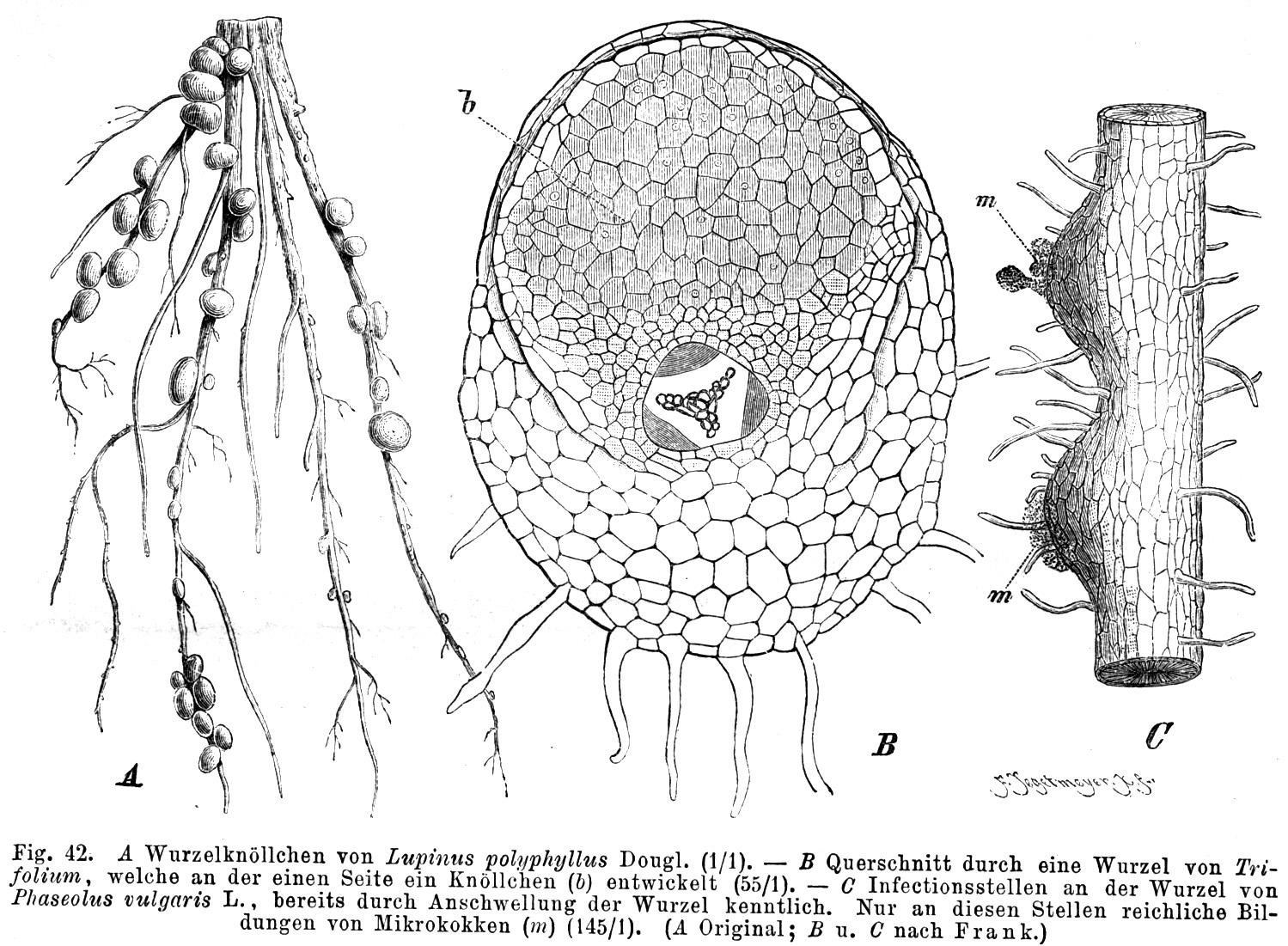 Rhizobium Wikipedia Wolna Encyklopedia