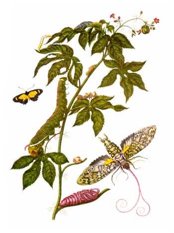 File:Merian insectes Surinam.jpg