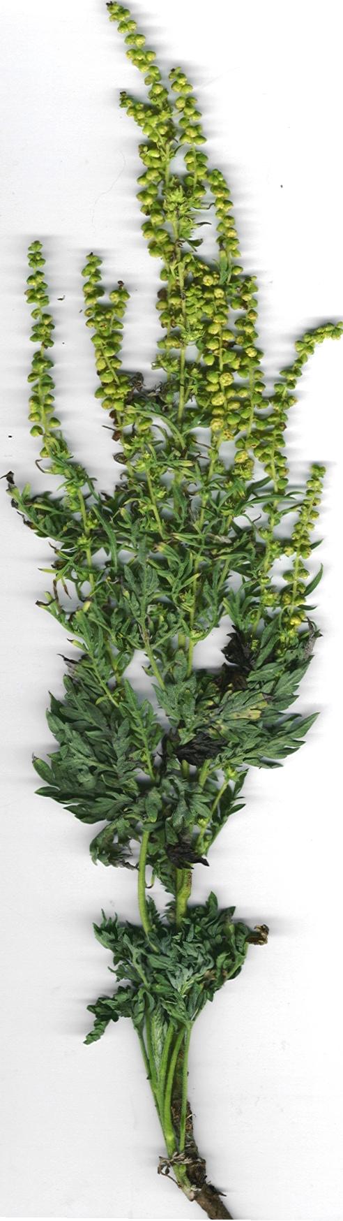Bild: Forest & Kim Starr. Lizenz: CC-BY-3.0 https://i2.wp.com/upload.wikimedia.org/wikipedia/commons/3/33/Starr_010222-9001_Ambrosia_artemisiifolia.jpg