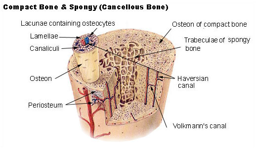 Compact bone & spongy bone, by the National Cancer Institute's SEER Program.