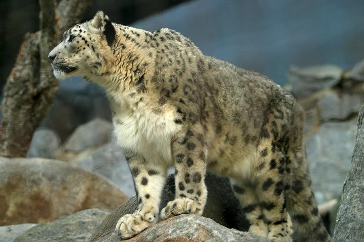 About 200 Snow leopards, an endangered species...