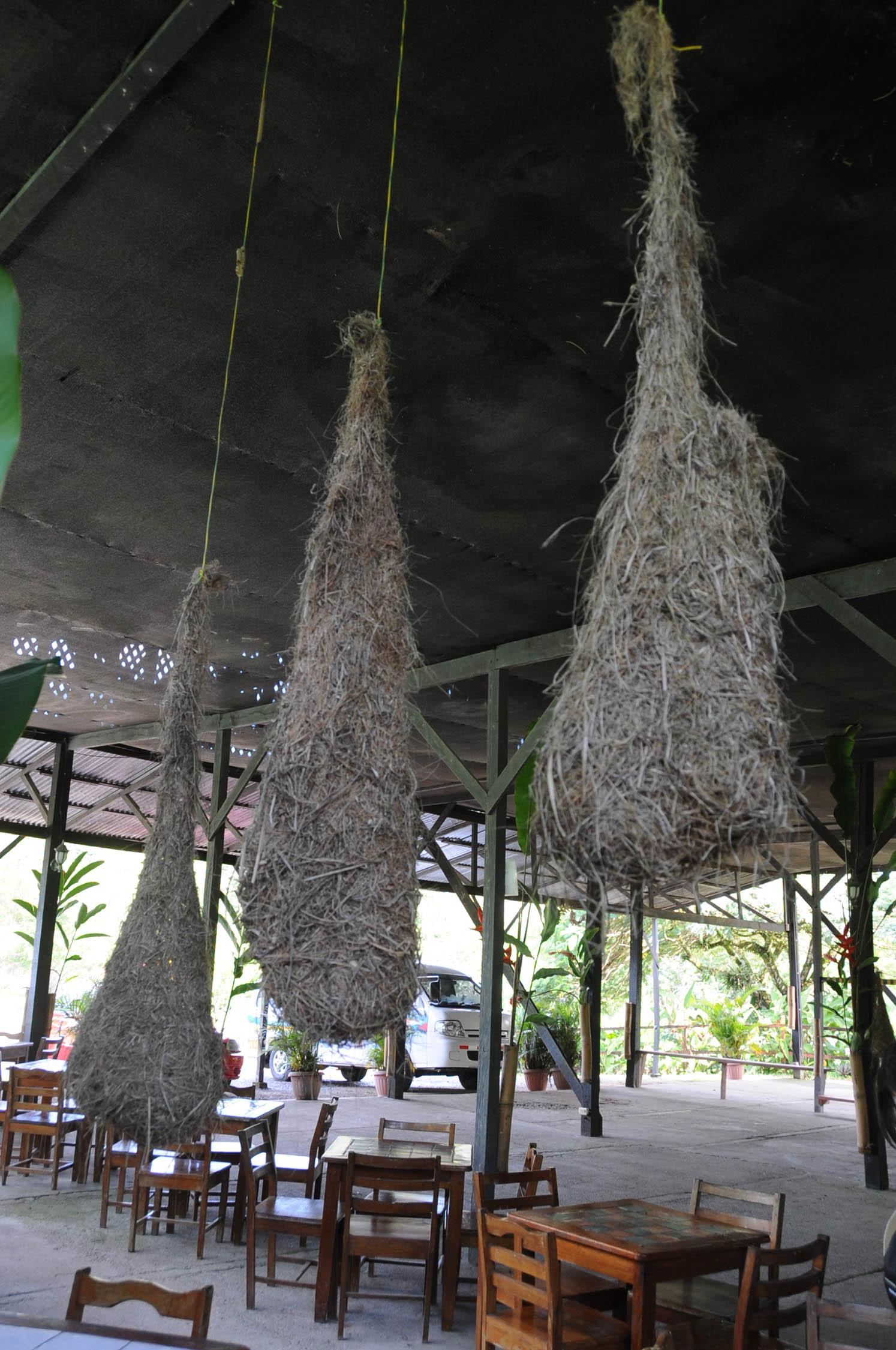 FileOropendola Nests Puerto Limon Costa Ricajpg