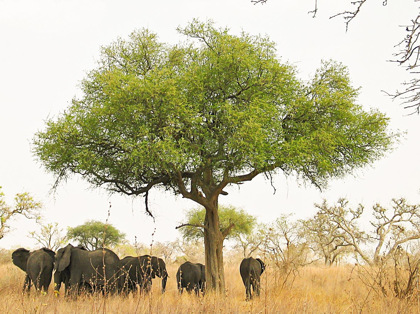 Elephants around an acacia (?) tree in Waza Pa...