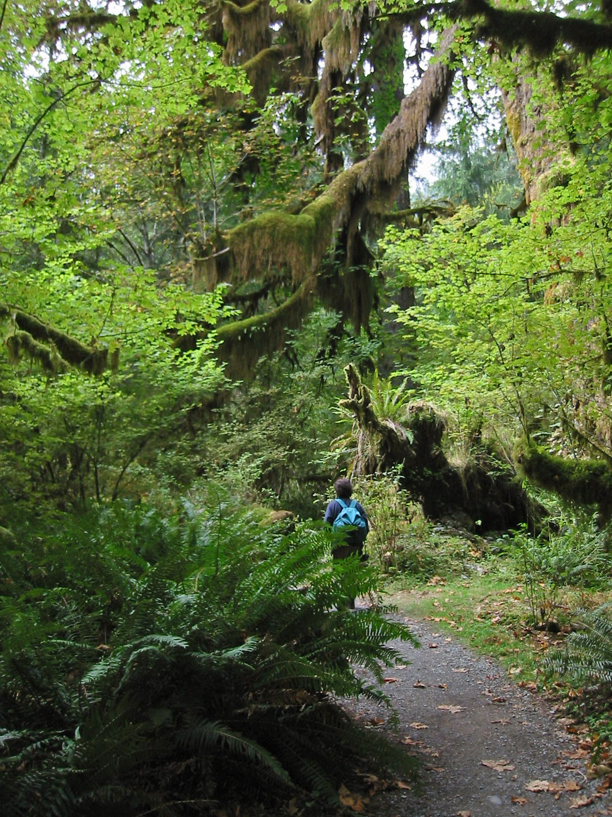 Hiker on a Hoh Rain Forest Trail in Washington State