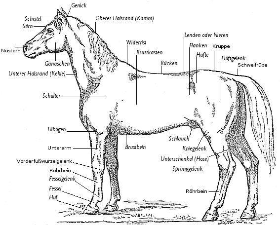 Exterieur bezeichnet man das äußere Erscheinungsbild eines Pferdes
