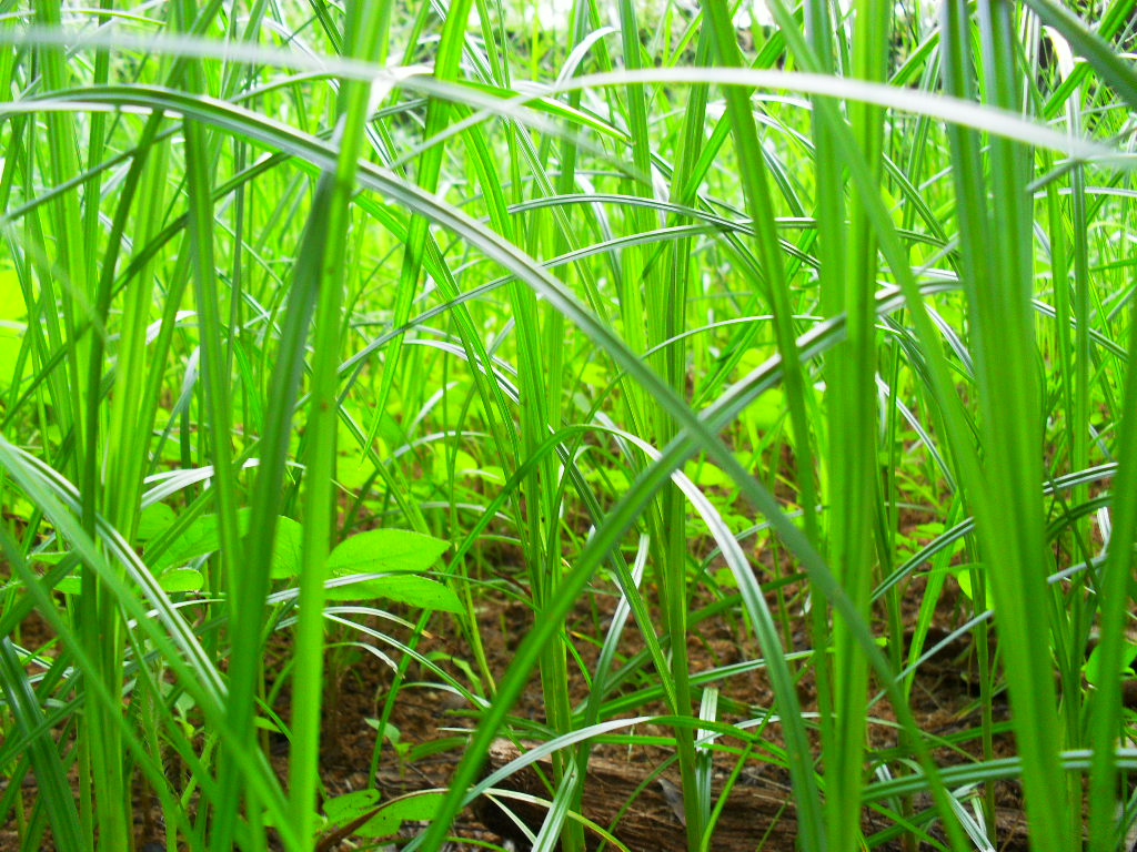 English: Wild Grass in India