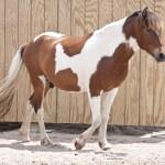 Pinto Horse Wikipedia