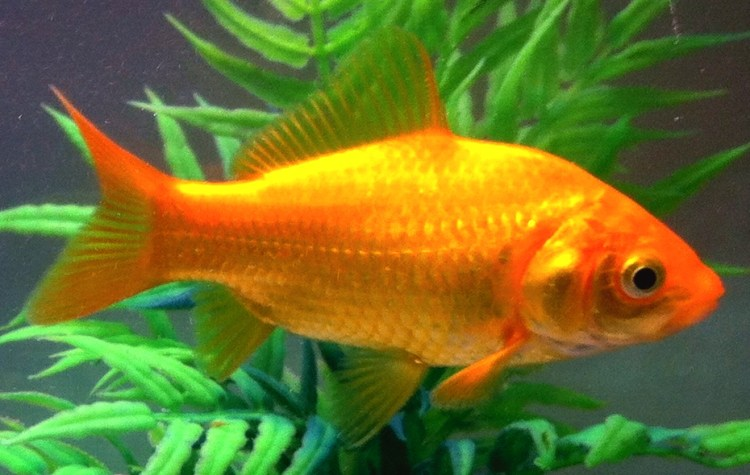 Image result for goldfish