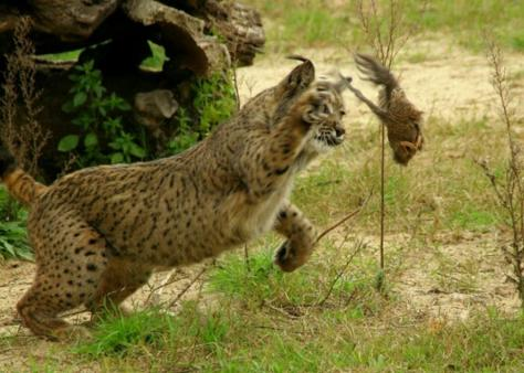 Even Wild Cats Like This Lynx Do the Butt Wiggle