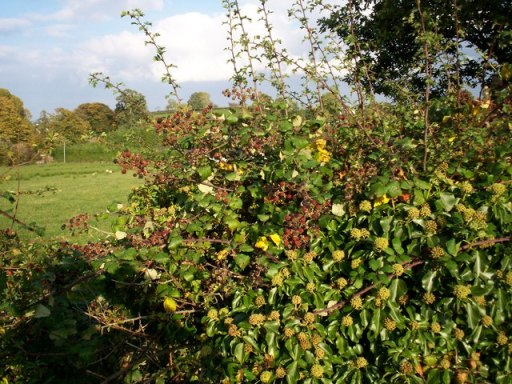 Plenty of wild berries waiting to be plucked - geograph.org.uk - 583340