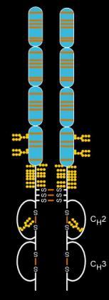Etanercept (Enbrel) structure