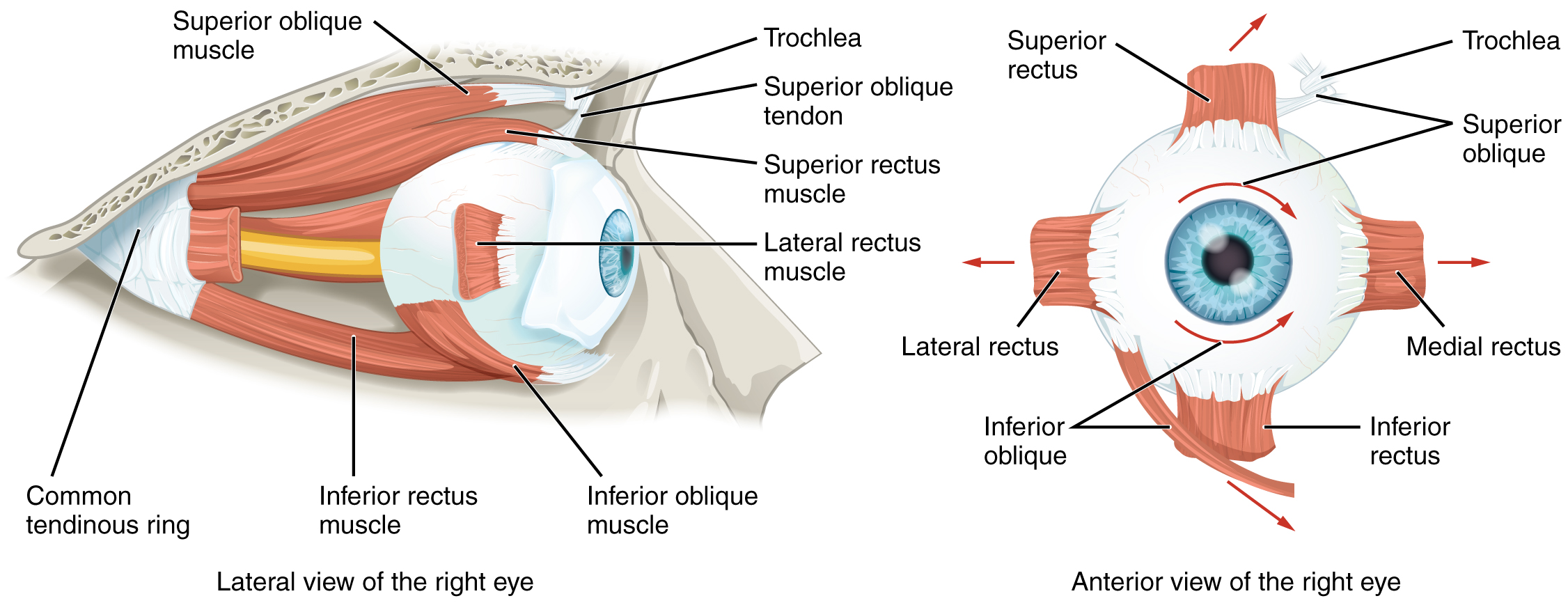 Anatomy Of The Eye And Extraocular Muscles