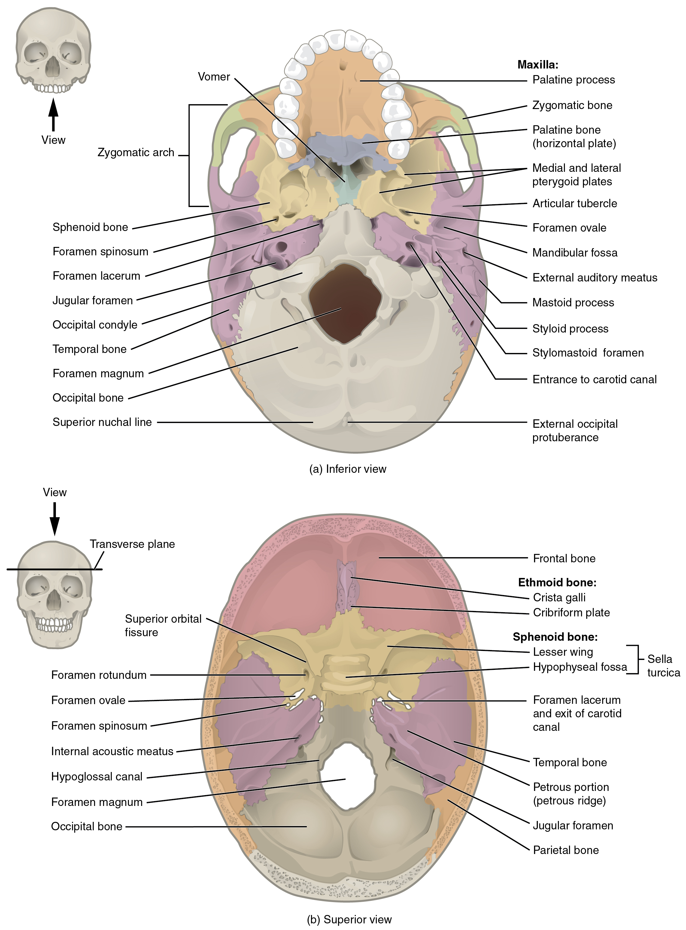 File 707 Superior Inferior View Of Skull Base 01
