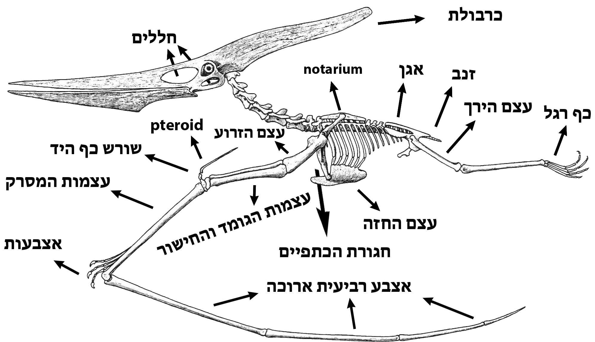 File Anatomy Of Pteranodon Hebrew