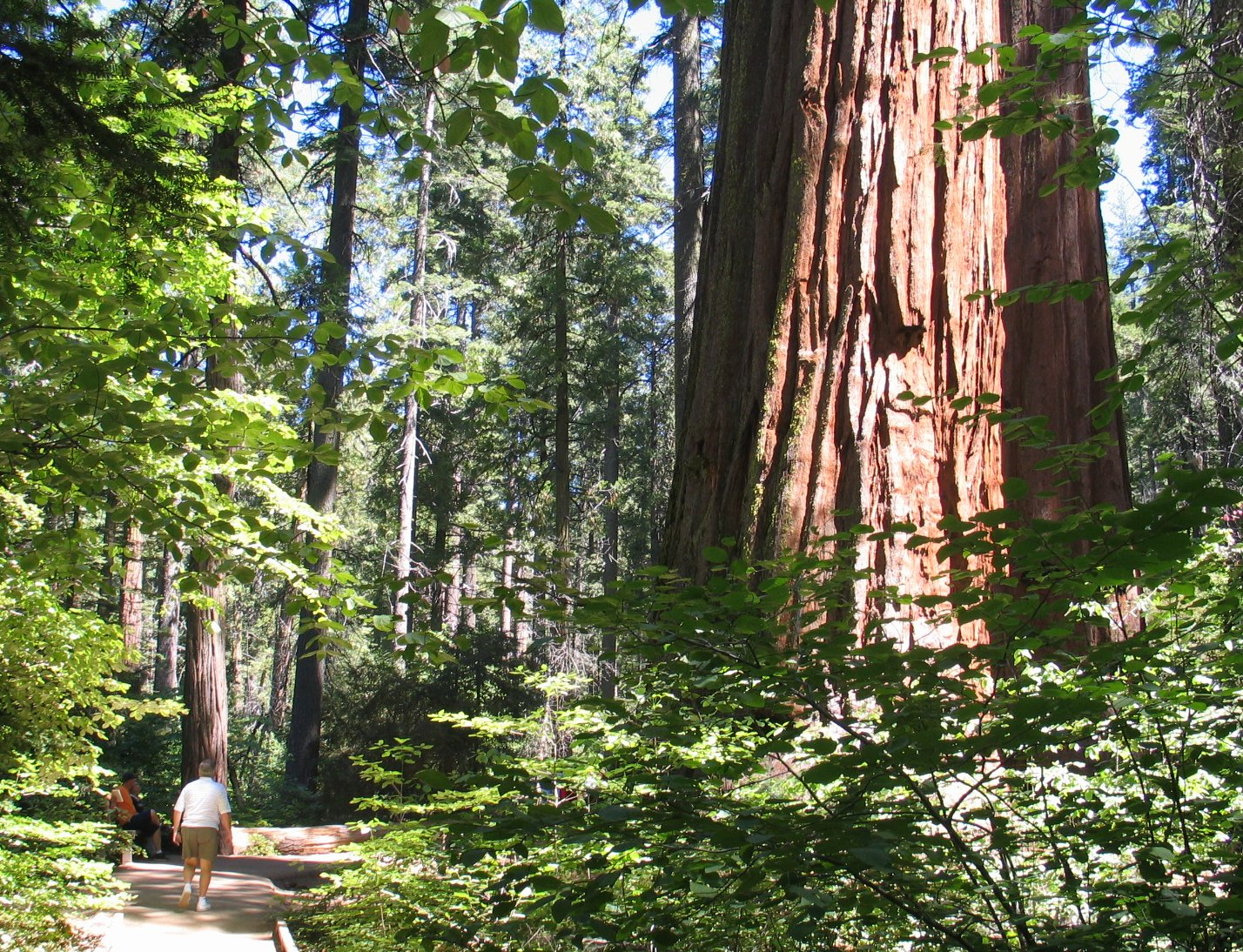 Trail past ancient Sequoiadendron giganteum (Giant Sequoia) tree.