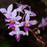 Orchidee Phalaenopsis equestris