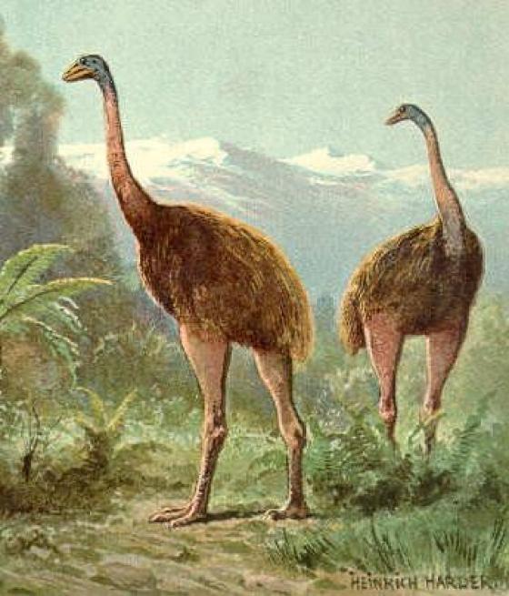 Burung raksasa Moa [Wikimedia Commons] - Gapunah.com