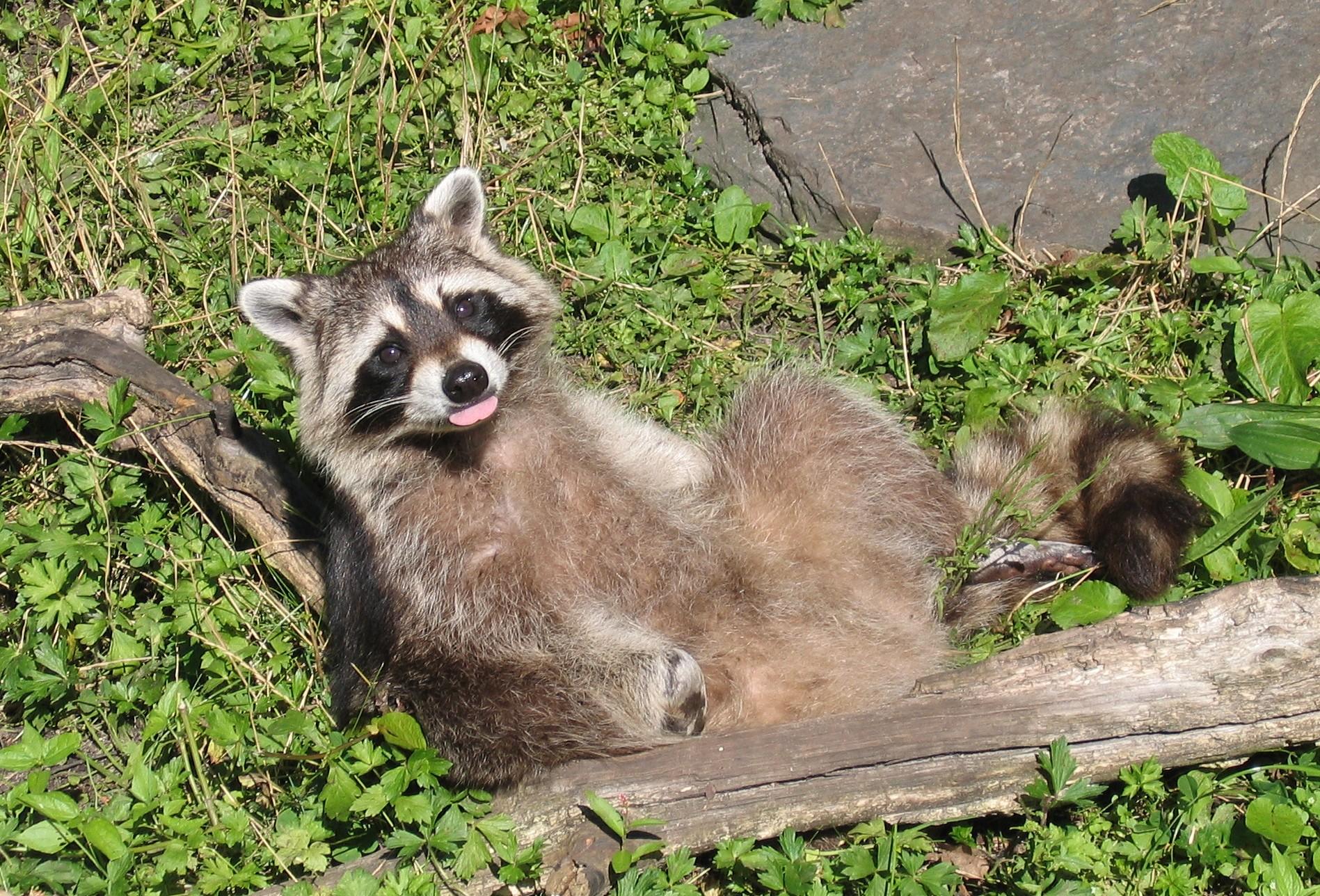 Princeton Landing News Nature Guide Skunks And Raccoons