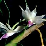 Orchidee Dendrobium amethystoglossum