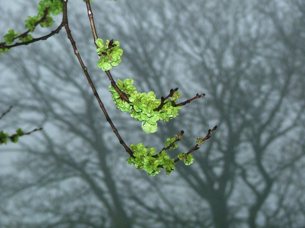 Leaves bursting in Spring