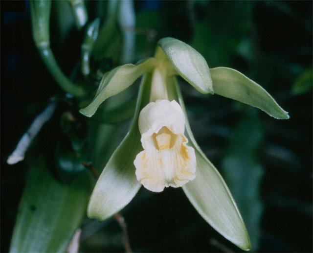 ფაილი:Vanilla planifolia 1.jpg