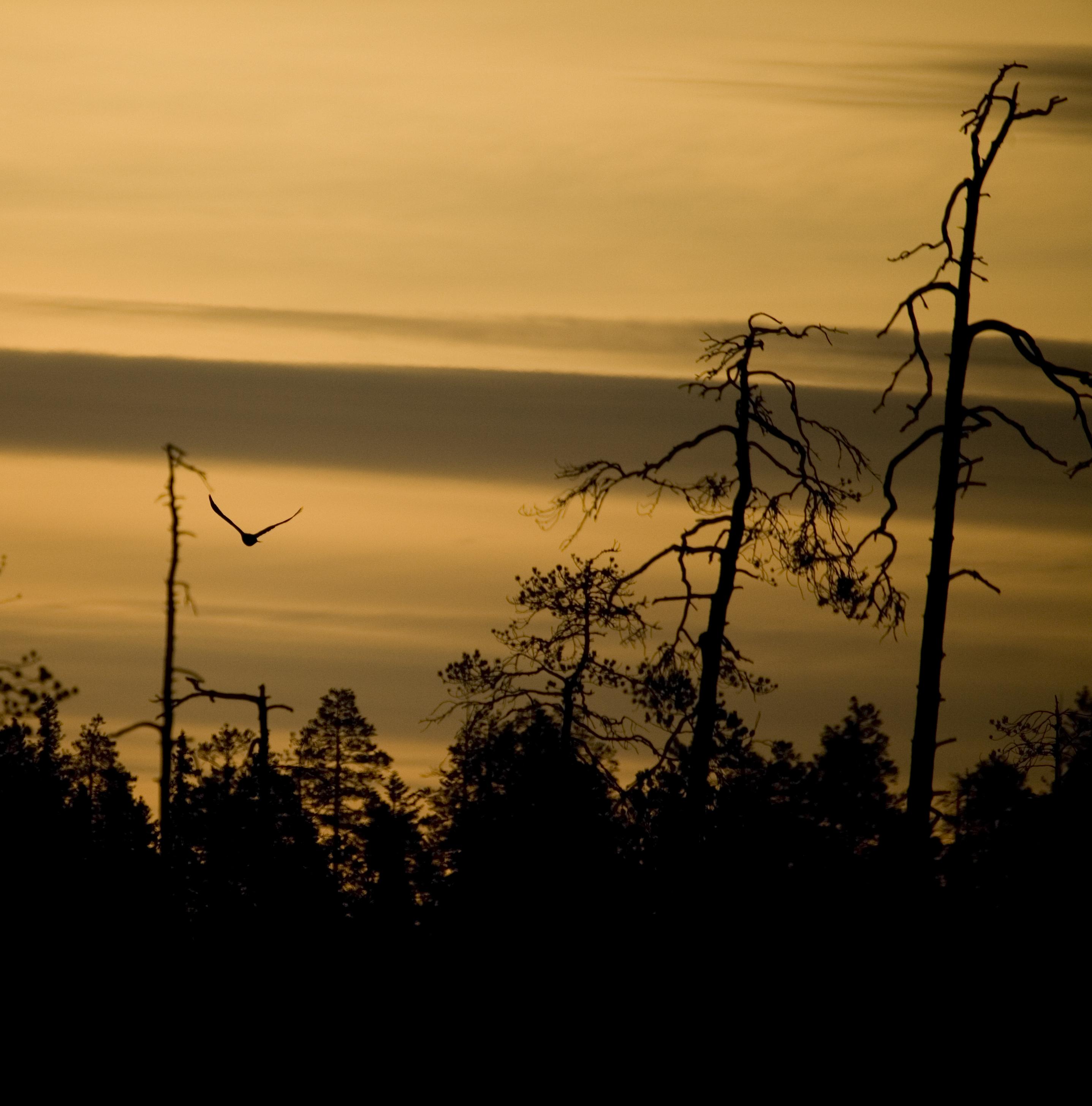 English: Flying bird at sunrise.