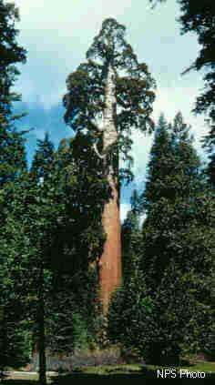 Archivo:Riesenmammutbaum.jpg
