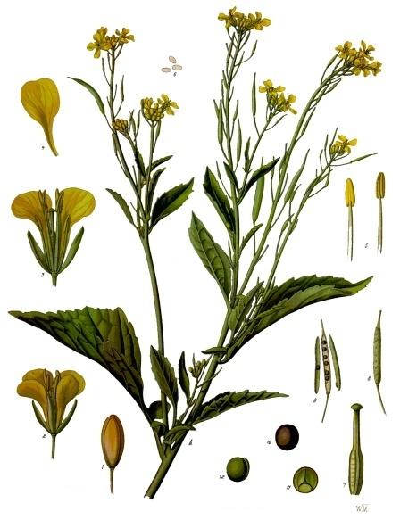 File:Brassica juncea - Köhler–s Medizinal-Pflanzen-168.jpg