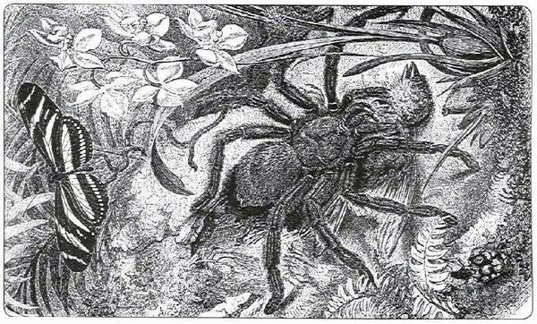 Maria Sibylla Merian, Spider eating bird