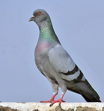 Wikipedia: Blue Rock Pigeon