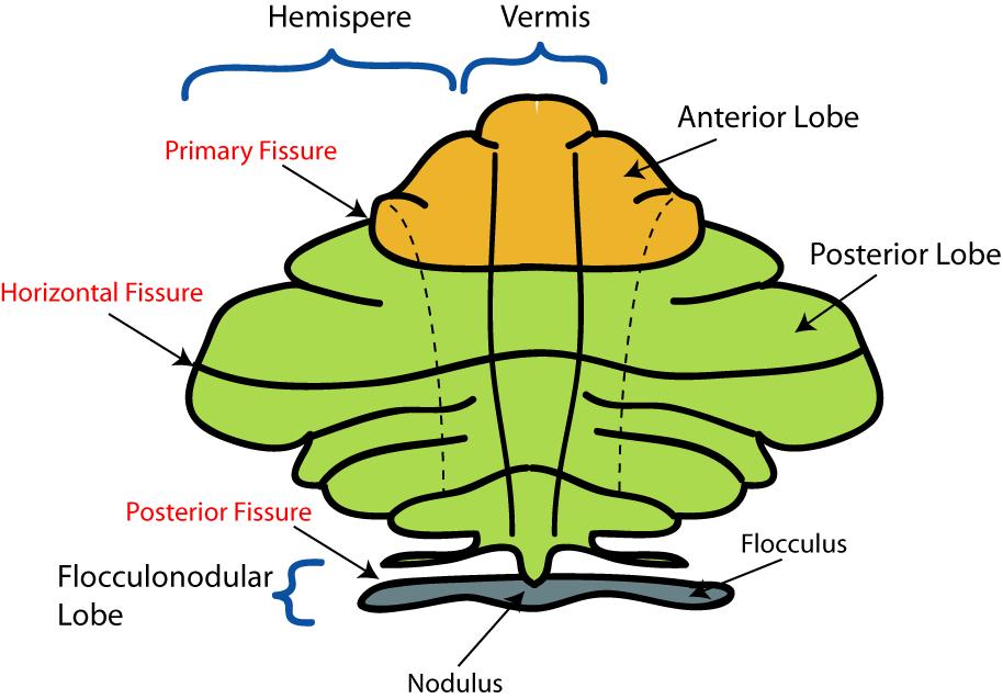 Image Result For Cerebellum