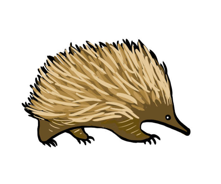 FileEchidna Illustrationjpg Wikimedia Commons