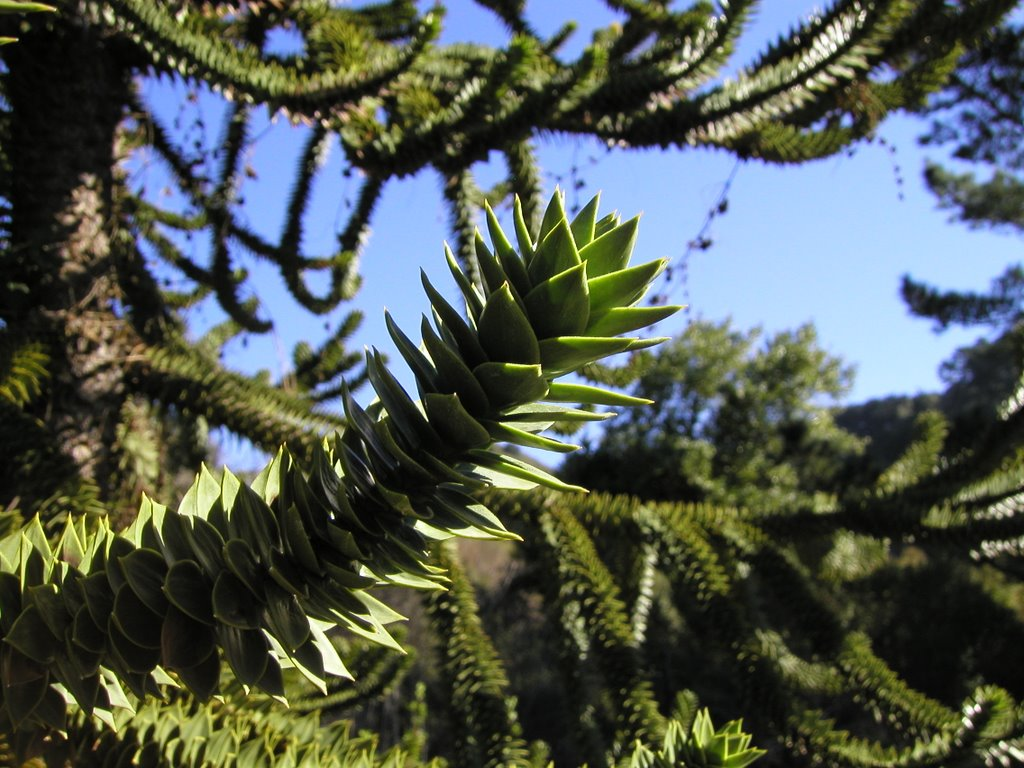 The spiky leaves of a Monkey Puzzle tree