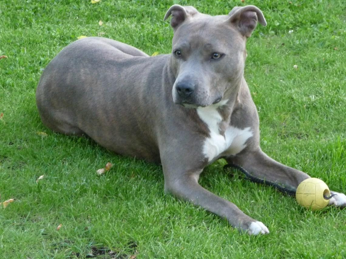 %name Gray Pitbull Dog