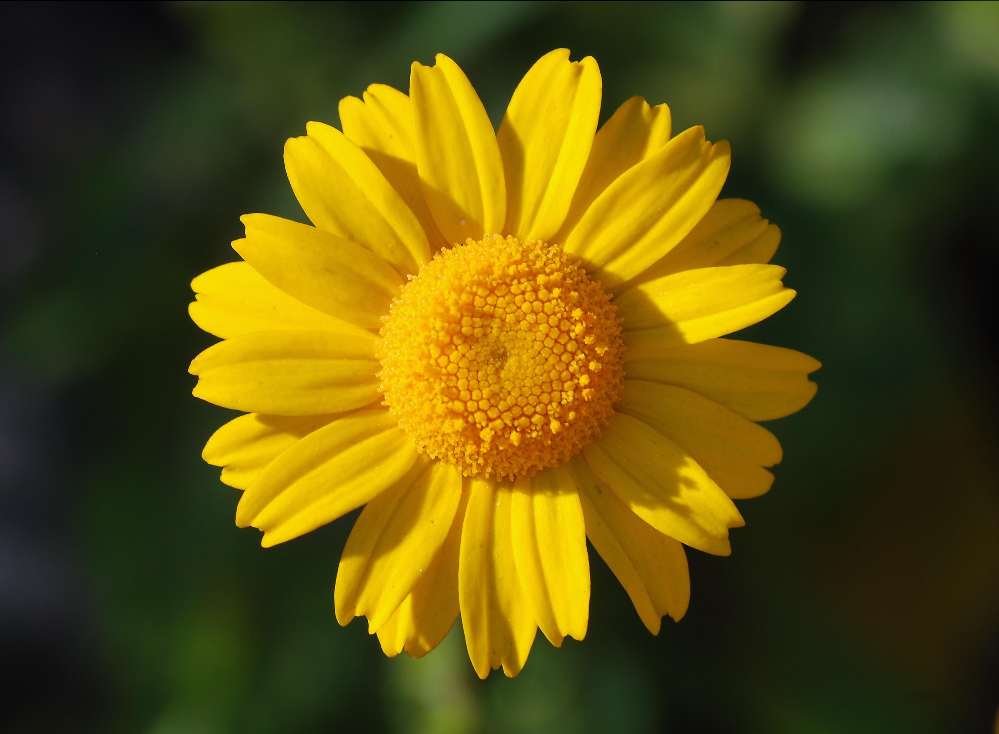 A yellow flower of Coleostephus myconis
