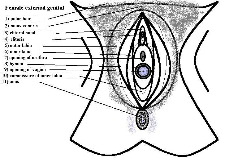 File:Vulva anatomy.jpg