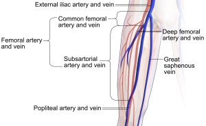 Femoral vein  Wikiwand
