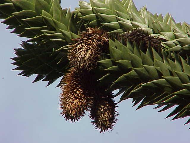File:Araucaria araucana0.jpg