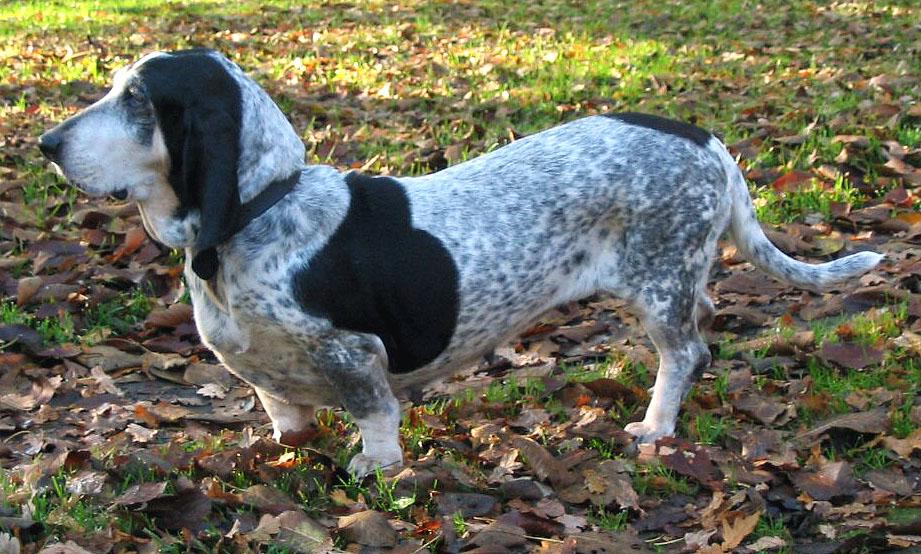 Basset bleu de Gascogne Pitbull Dog White