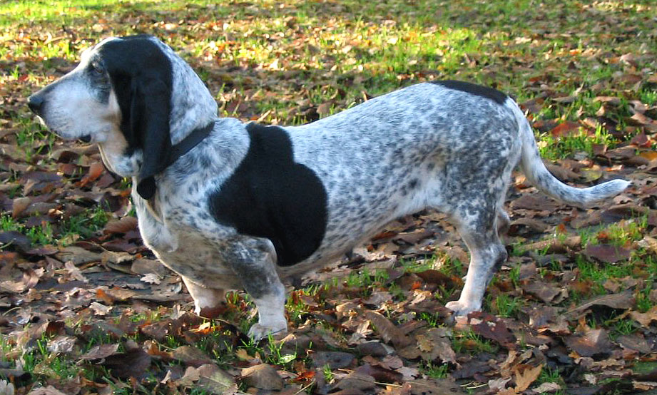 Basset bleu de Gascogne Hound Dog Pitbull Mix